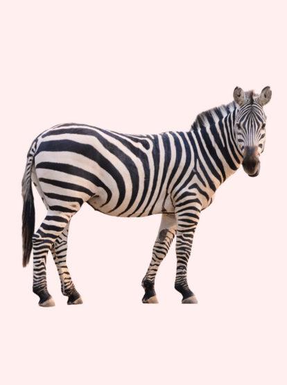 Run, Zebra, run!