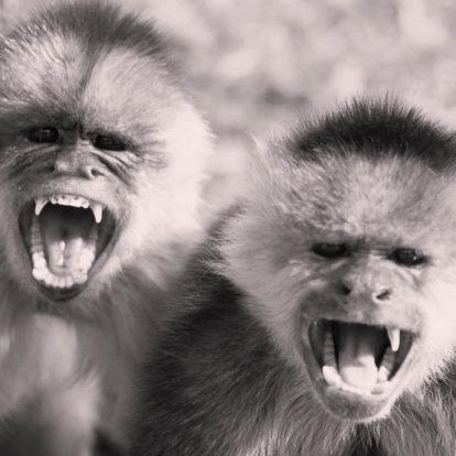 Affen-Gangs